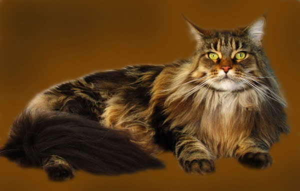 Породы мейн кун питомник кошек star sky