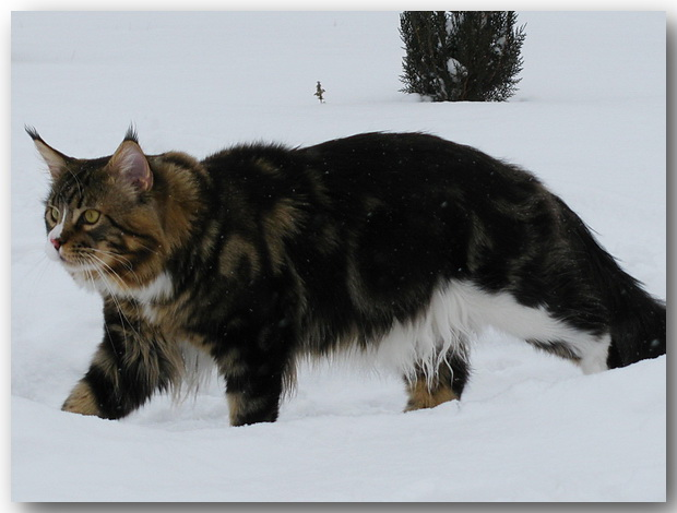 Star sky maine coon cattery 2007 2010